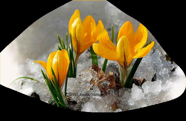 Crocus jaune sur glace (neige)